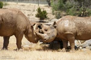 Two Rhinos playing