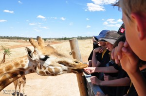 Giraffe eating out of peoples hands