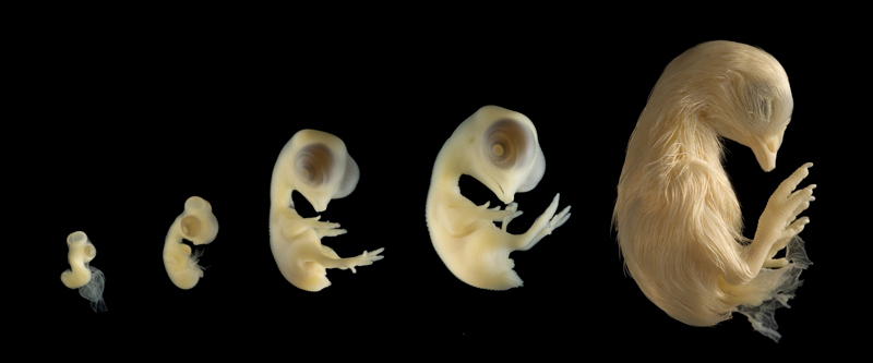 Bird Embryo Development